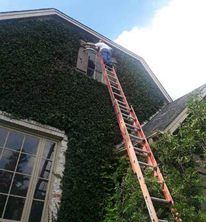 Trimming Fig Ivy on Rockcliff Road Home