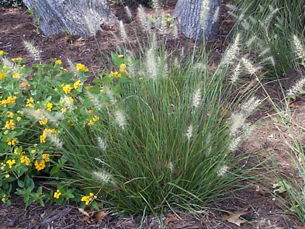 Ornamental grass for austin photos of several ornamental for Dwarf ornamental grass plants