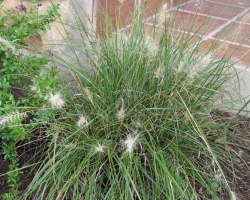 Fountain Grass (Dwarf)