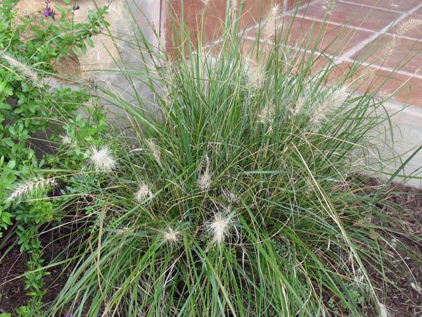 Fountain Grass (Dwarf)