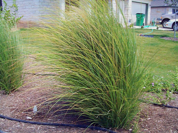 Ornamental grass for austin photos of several ornamental for Maiden fountain grass