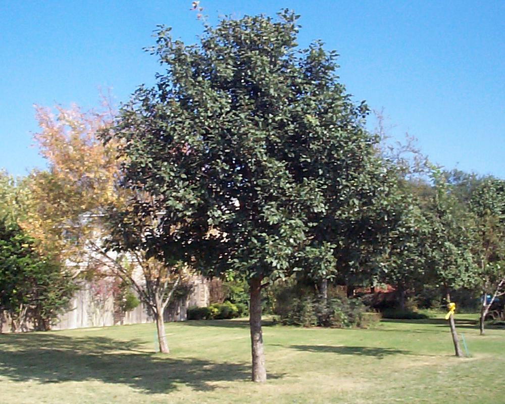 Polymorpha Tree