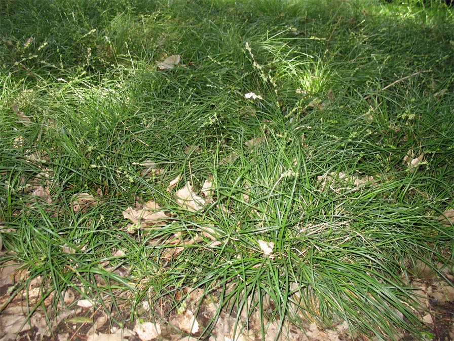 Sedge Plants for Austin Photos of Sedges for the Austin Area