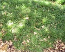 Berkeley Sedge in mass planting