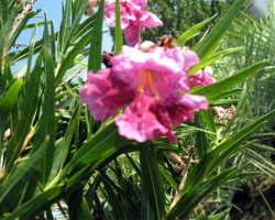 Desert Willow - Close Up