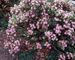 Indian Hawthorn - Pink