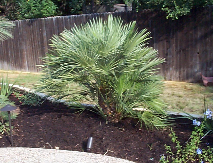 Mediterranean Fan Palm