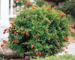 Pomagranate - Dwarf