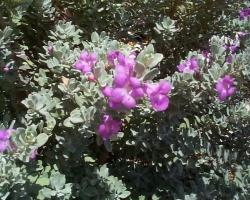 Silverado Sage