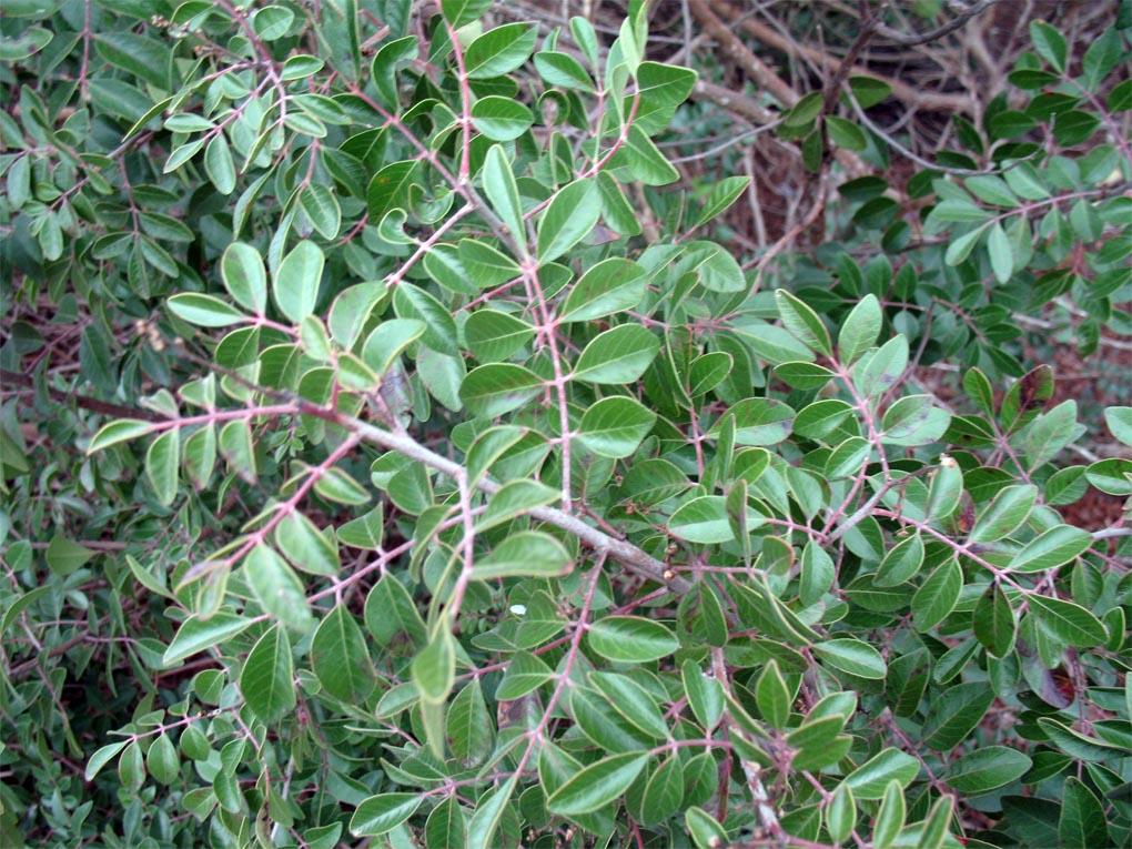 Sumac Evergreen