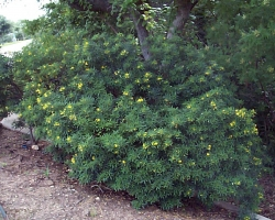 Tree Senna