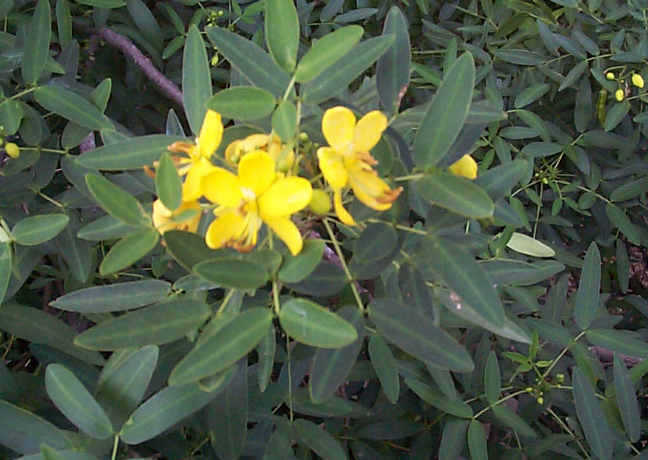 Tree Senna Flower