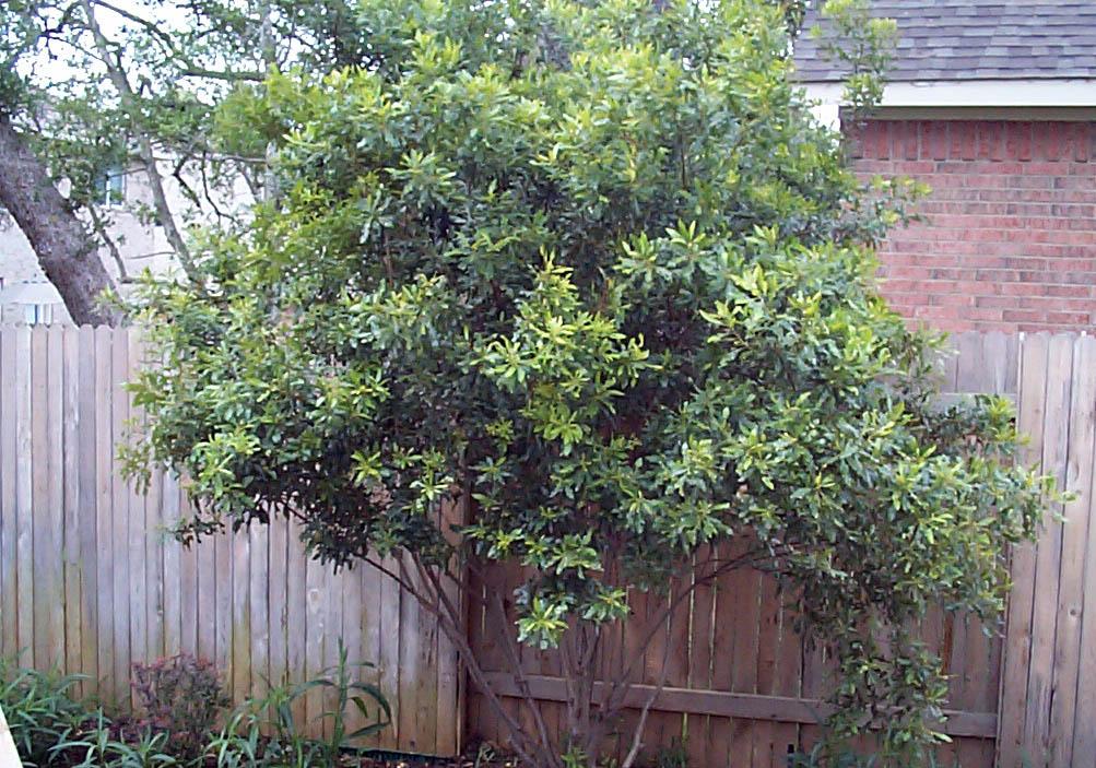 Shrub Plants For Austin Photos Of Shrubs For The Austin Area