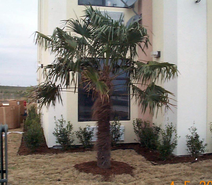 Windmill Fan Palm