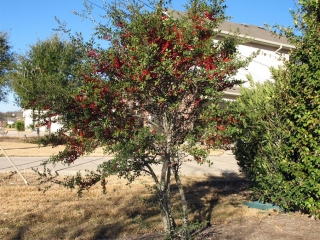 Ornamental Trees For Austin Photos Of Ornamental Trees